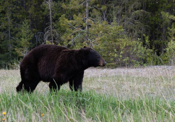 dead-creek-outfitter-black-bear
