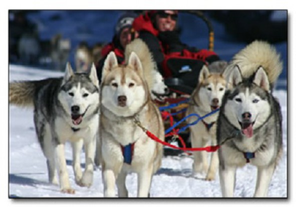 winterdance-dogsled-tours-dogs